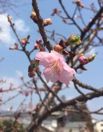 higansakura1.jpg