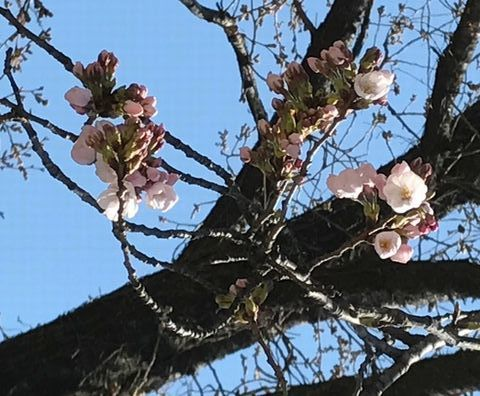 sakurakaika-217.4.3.jpg